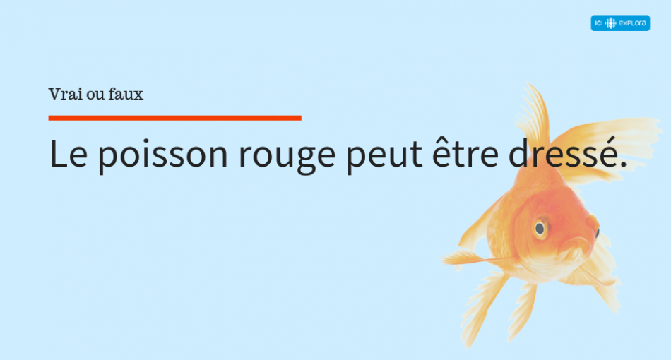 Le dressage du poisson rouge