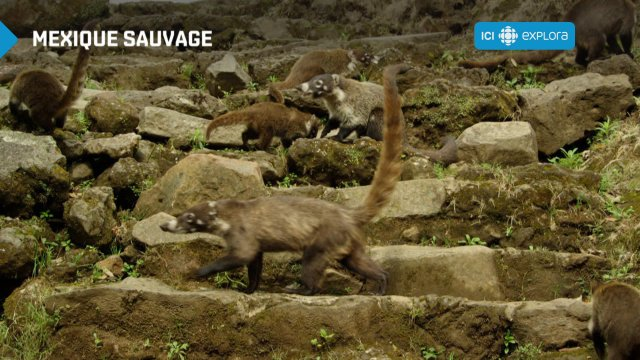 Le coati, animal méconnu du Mexique
